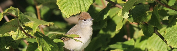 Kiveton Community Woodland: Blackcap: Blackcap female/juvenile